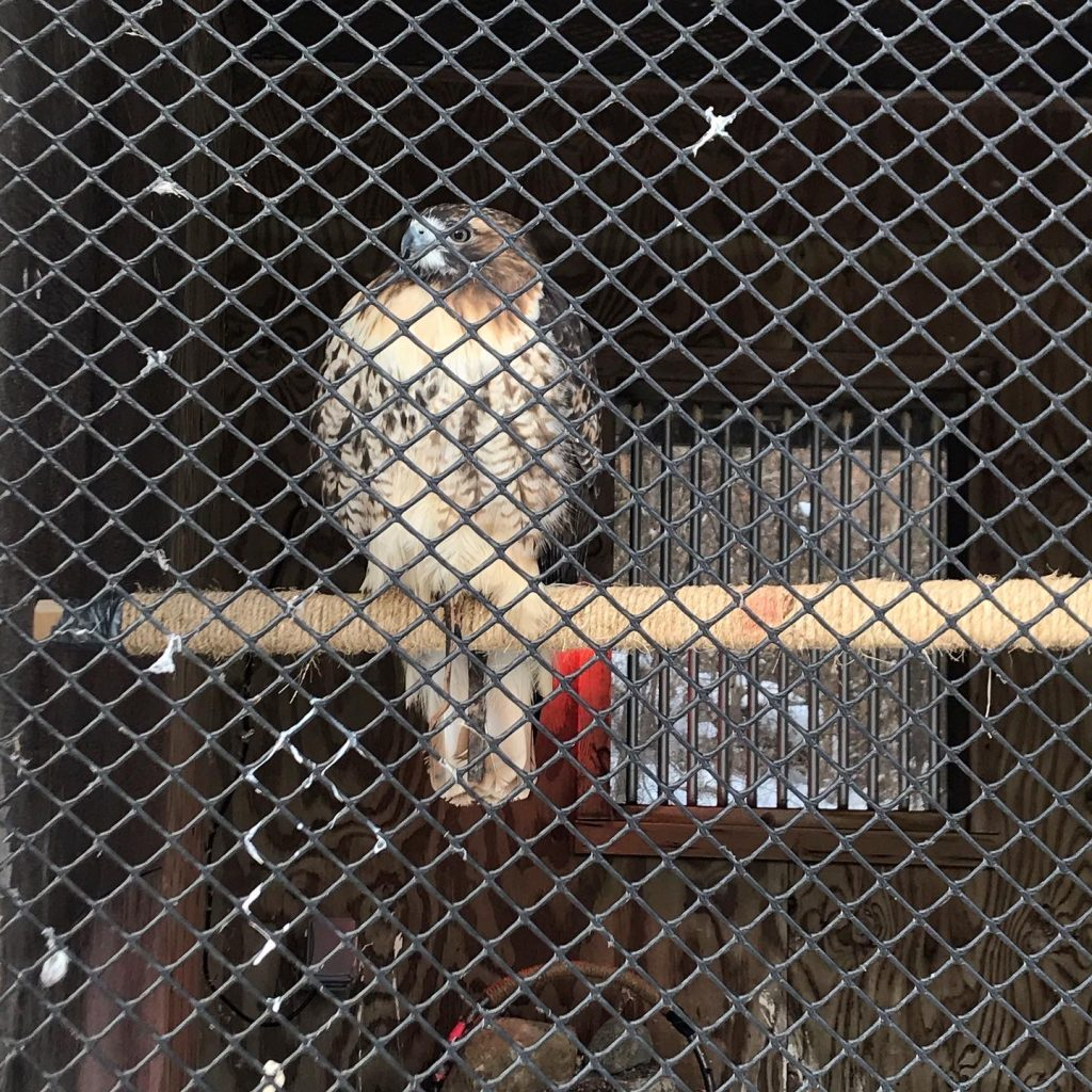 A Red-tailed Hawk perched in the Dodge Nature Center's Voight Raptor Mews.