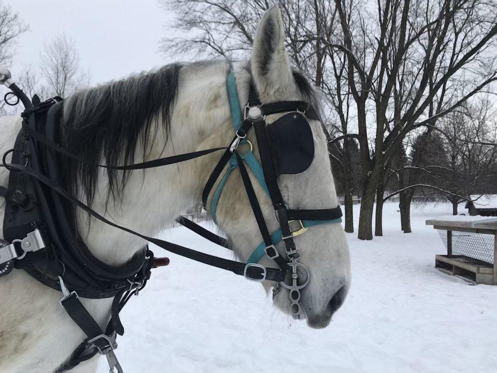 Terry, a Morgan-Percheron horse, in harness for sleigh rides.