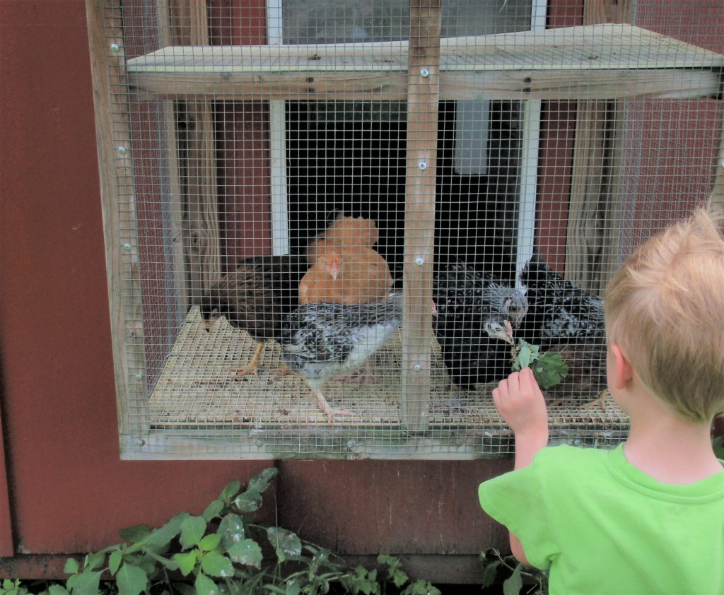 A Dodge Nature Center camper gets up close to a few friendly chickens on the farm.