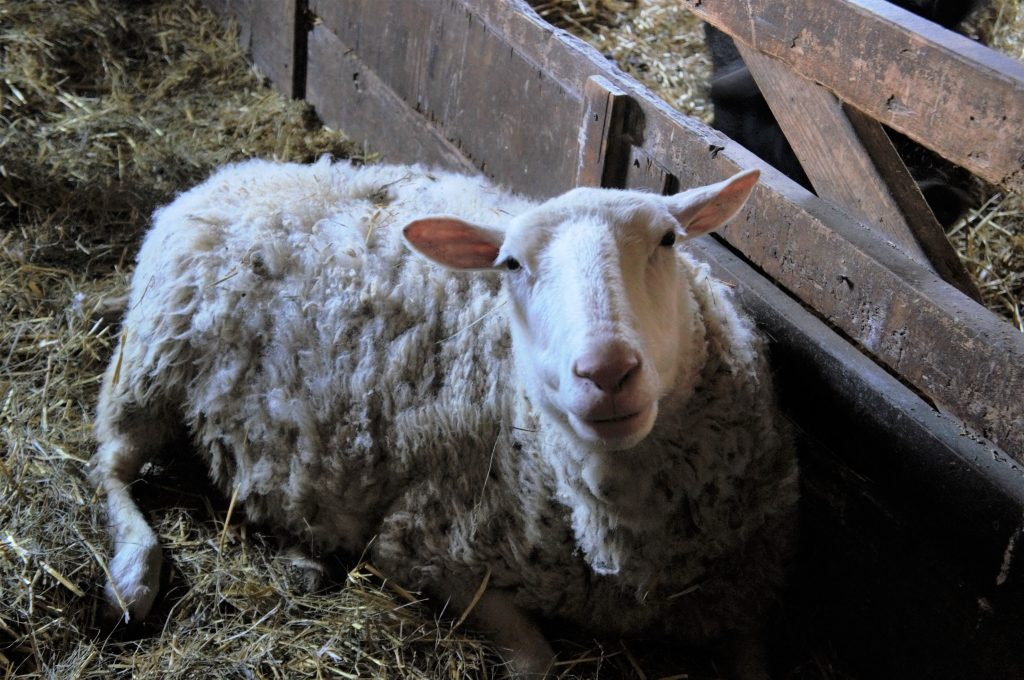 An ewe cuddles up in the barn for the winter.
