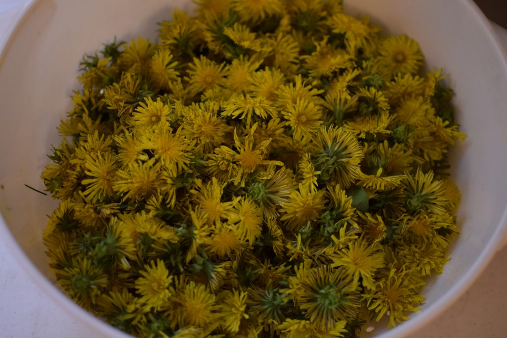 Freshly picked dandelions heads, prepped and ready to fry.