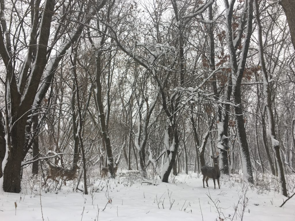 White-tailed deer stand in the snow-covered woods.