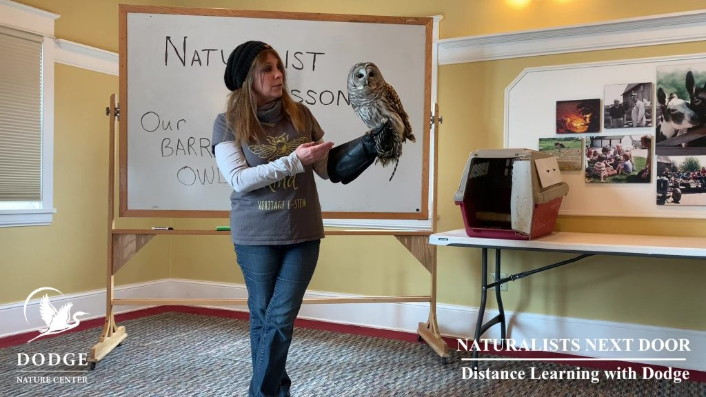 Dodge Nature Center Naturalist Pam Welisevich introduces Shakespeare, a Barred Owl, in a Distance Learning with Dodge video.