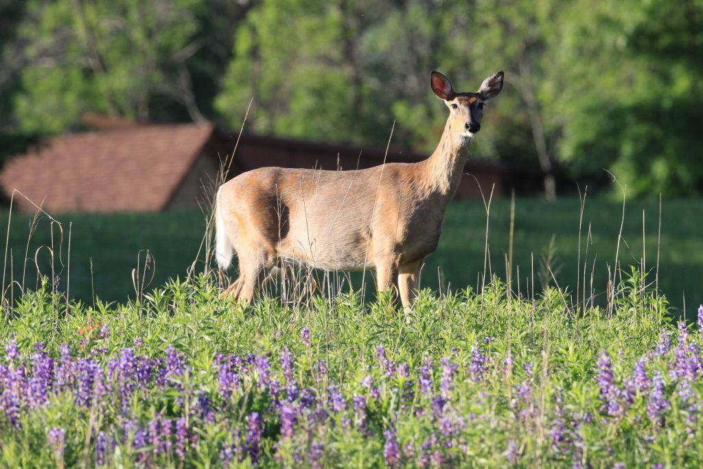A white-tailed deer stands on alert in the prairie at Dodge Nature Center.