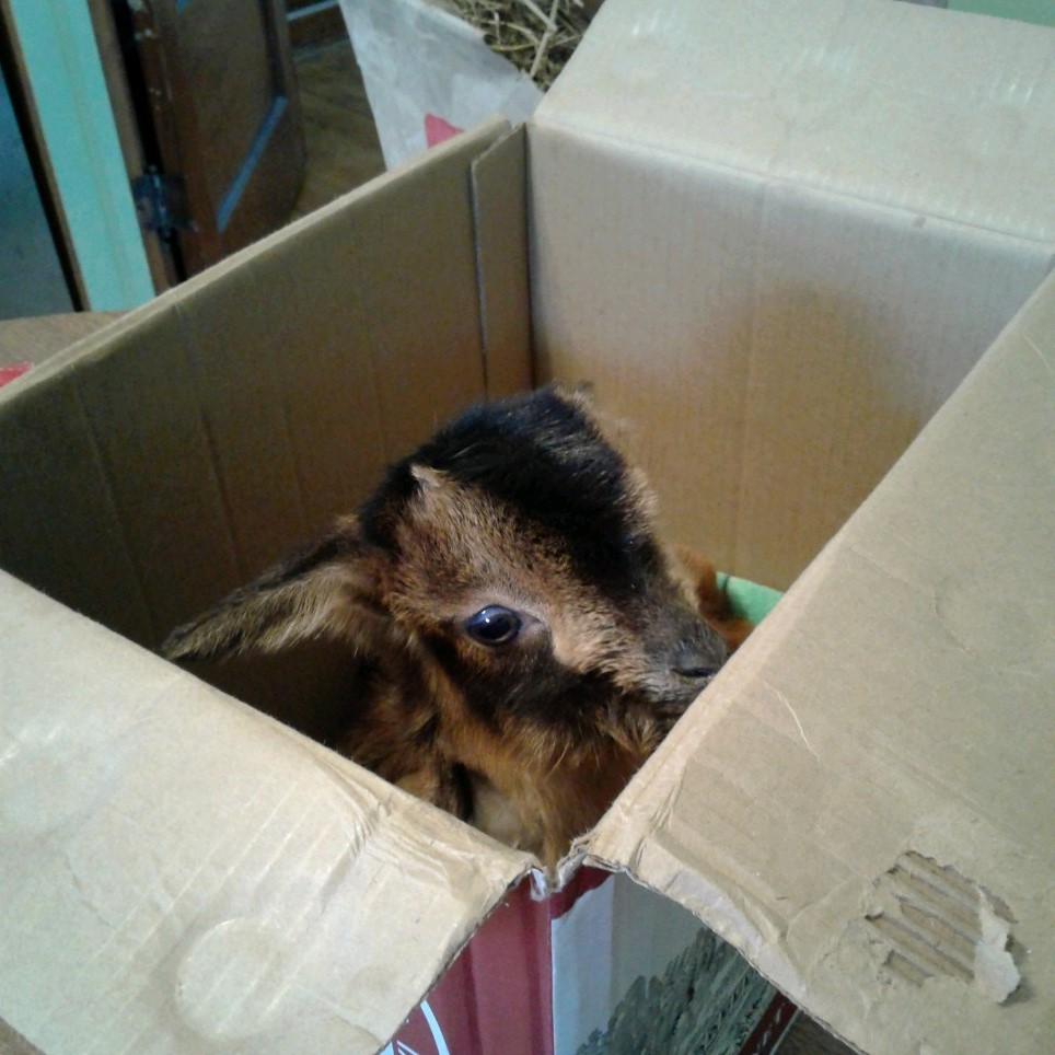 A small goat peers out of a cardboard box.